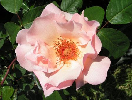 Rosa Meg
