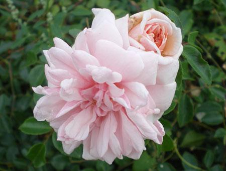 Rosa Mme Alice Garnier