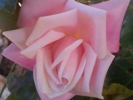 Rosa Mme Antoine Marie