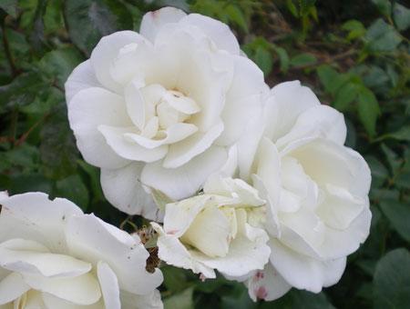 Rosa Mrs. Herbert Stevens Clg.