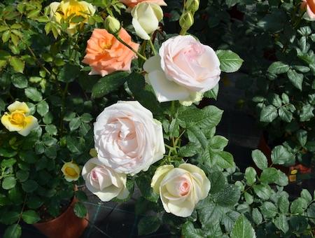Rosa Palais Royal ®