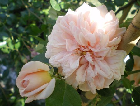 Rosa Paul Transon