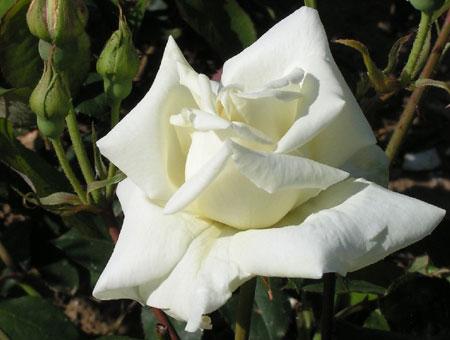 Rosa Pauls Lemon Pillar