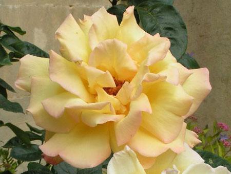 Rosa Peace Clg.