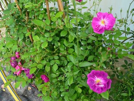 Rosa Purple Skyliner