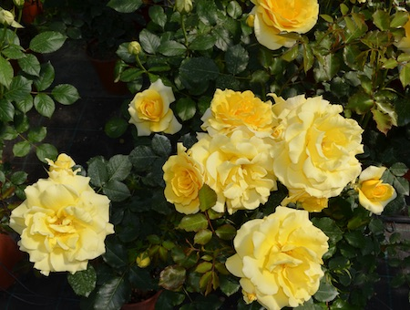 Rosa Rimosa ®