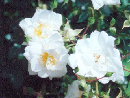 Rosa Sanders White