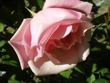 Rosa Senateur La Folette