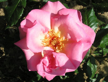 Rosa Shot Silk Clg.