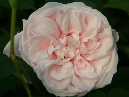 Rosa Souvenir de La Malmaison Clg.