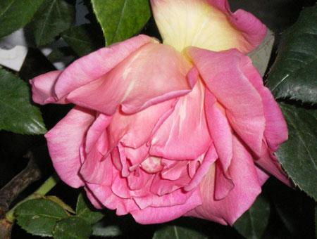 Rosa Souvenir de Mme Leonie Viennot