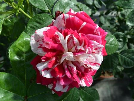 Rosa Tobacco