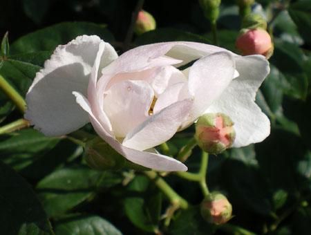 Rosa Trier