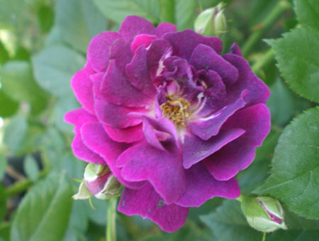 Rosa Violette