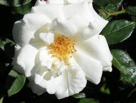 Rosa White Cockade