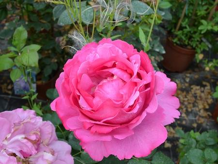 Rosa Yves Piaget ®
