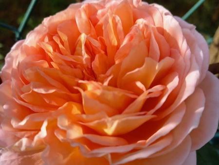 Rosa Abraham Darby®