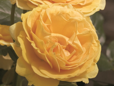 Rosa Absolutely Fabulous®