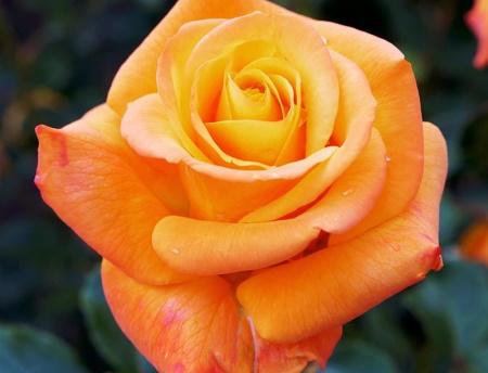 Rosa Amber Flush®