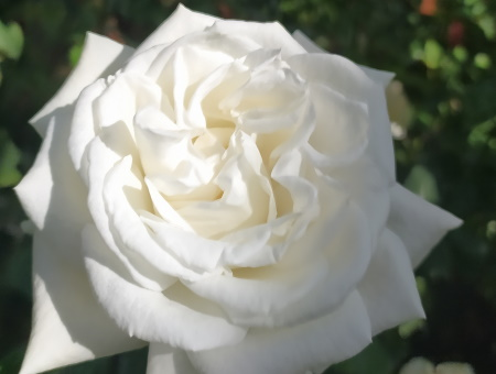 Rosa Annapurna®