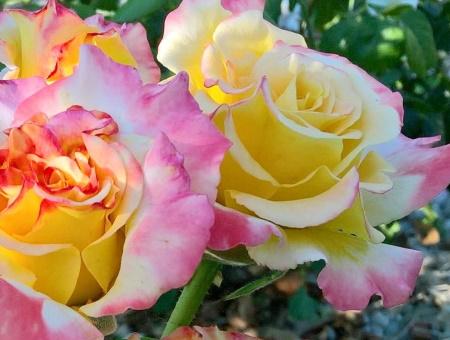 Rosa Aquarell