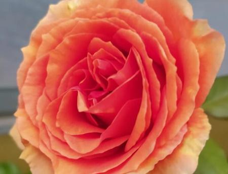 Rosa Ashram®