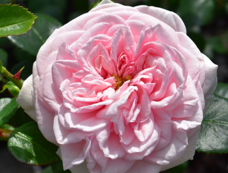 Rosa Awakening