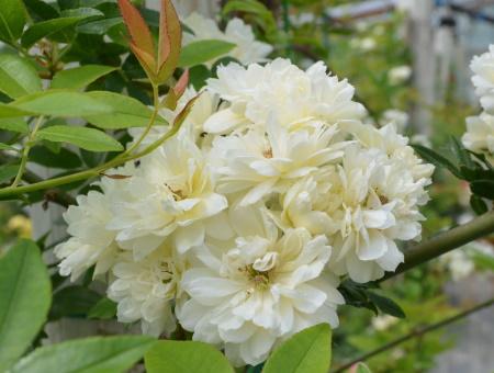 Rosa Banksia Alba Plena