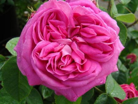 Rosa Baron Prevost