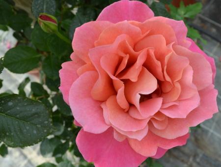 Rosa Belle Epoque®