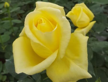 Rosa Bernard Hinault®