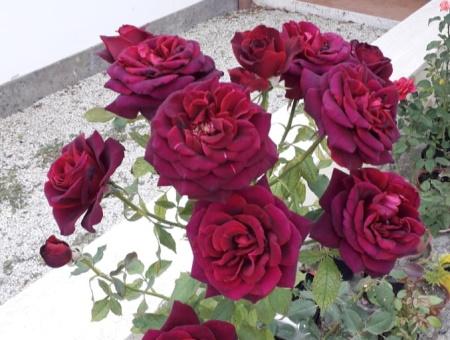 Rosa Black Perfumella®