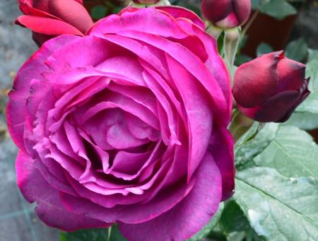 Rosa Blue Eden®