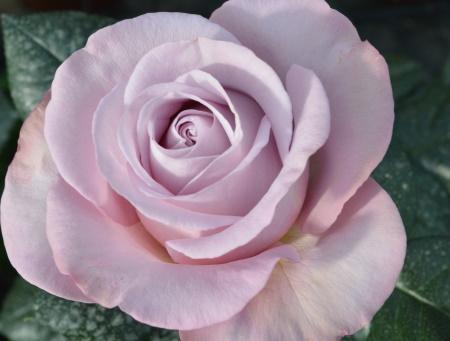 Rosa Blue Girl®