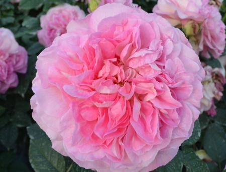 Rosa Borneo Odore®