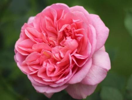Rosa Boscobel®