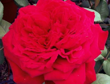 Rosa Botero®
