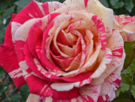 Rosa Broceliande®