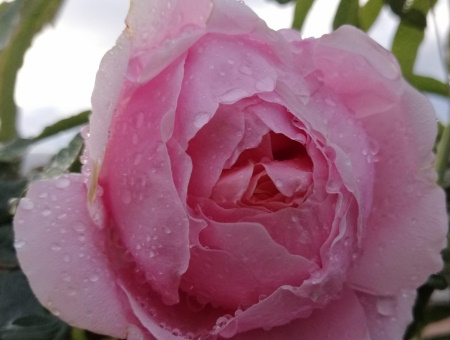 Rosa Brother Cadfael®
