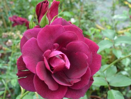 Rosa Burgundy Ice®