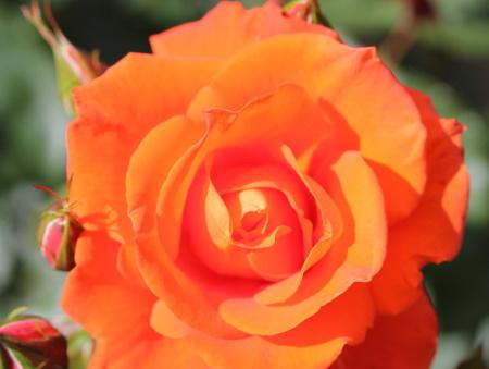 Rosa Burning Desire