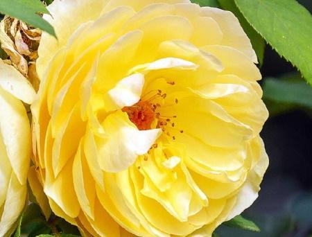 Rosa Canicule®