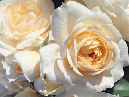 Rosa Champagne Moment®