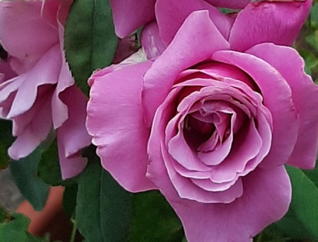 Rosa Charles de Gaulle®