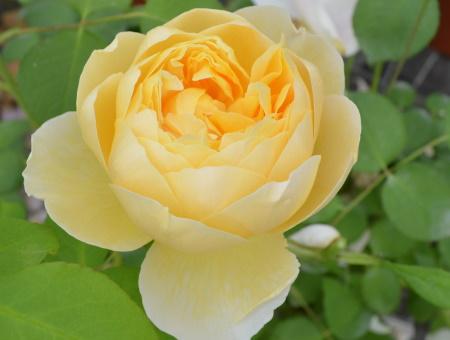 Rosa Charlotte®