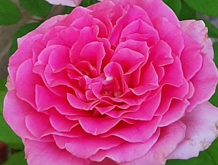 Rosa Charme d'Antan®