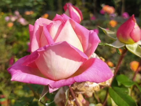 Rosa Chicago Peace