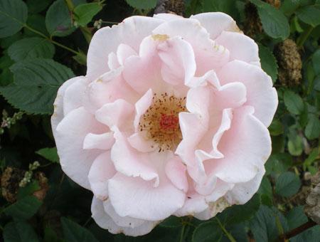 Rosa Chloe®