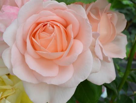 Rosa Clair Renaissance®