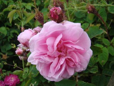 Rosa Common Moss